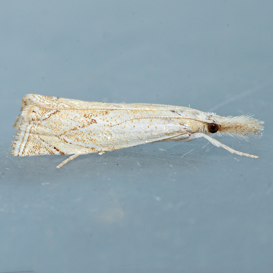 Moth for ID - Crambus angulatus