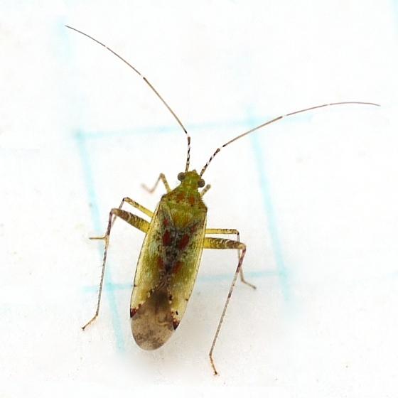 Plant Bug - August 5 - Phytocoris tibialis