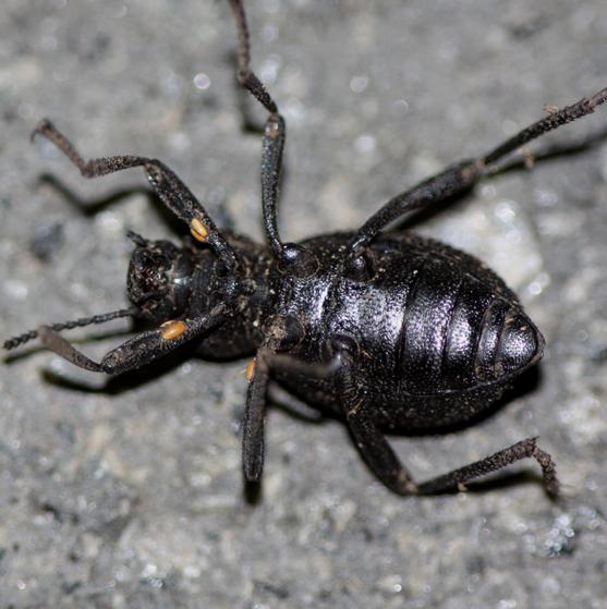 Granulated Darkling Beetle - Eleodes granosa