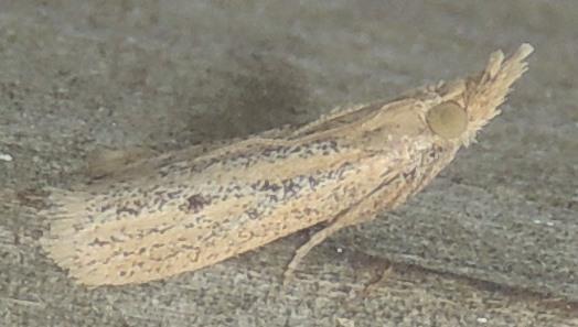 Coenochroa bipunctella