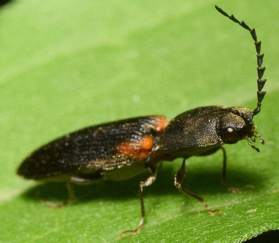Click beetle - Athous scapularis
