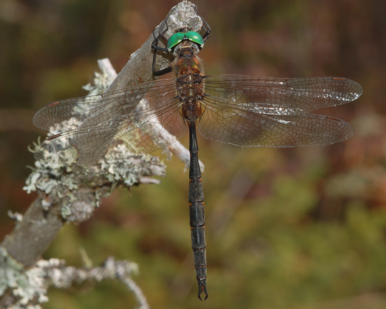 Incurvate Emerald, dorsal view - Somatochlora incurvata - male