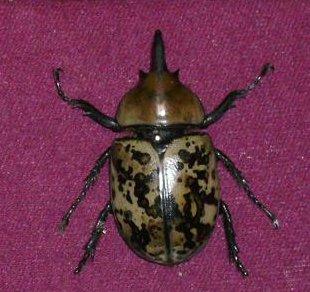 Dynastes tityus - Eastern Hercules Beetle - Dynastes tityus - male
