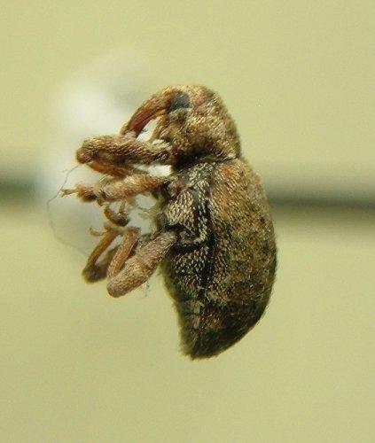 Weevil - Conotrachelus recessus