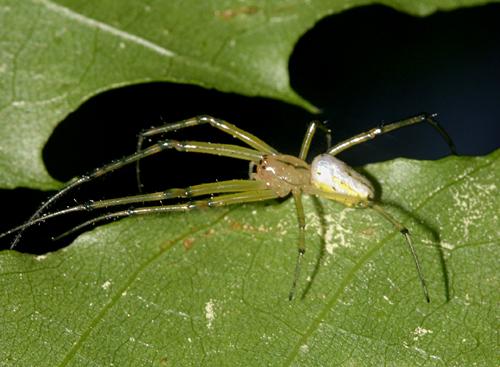 Orchard spider? - Leucauge venusta
