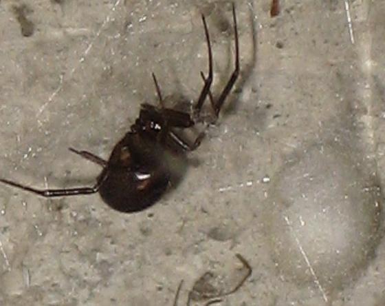 False Black Widow W Egg Case Steatoda Grossa Bugguide Net