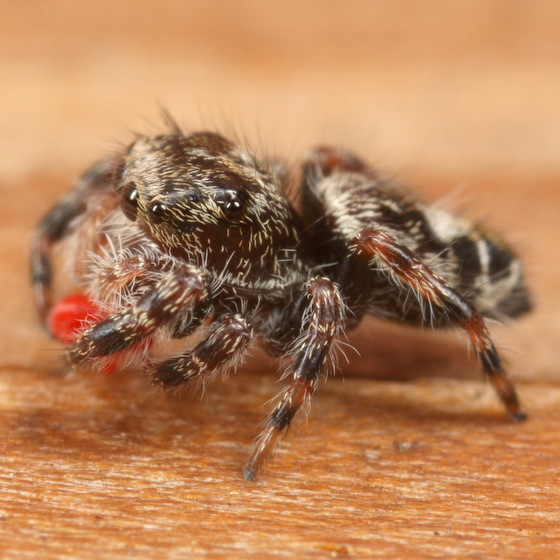 Jumping spider eating red bug - Phidippus