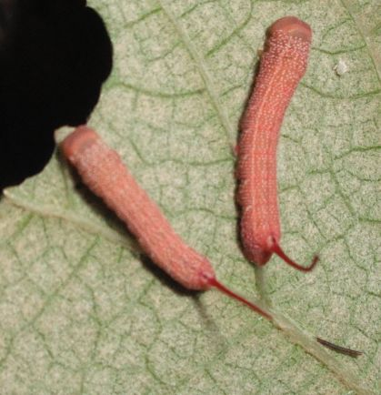 2nd instar - Eumorpha achemon