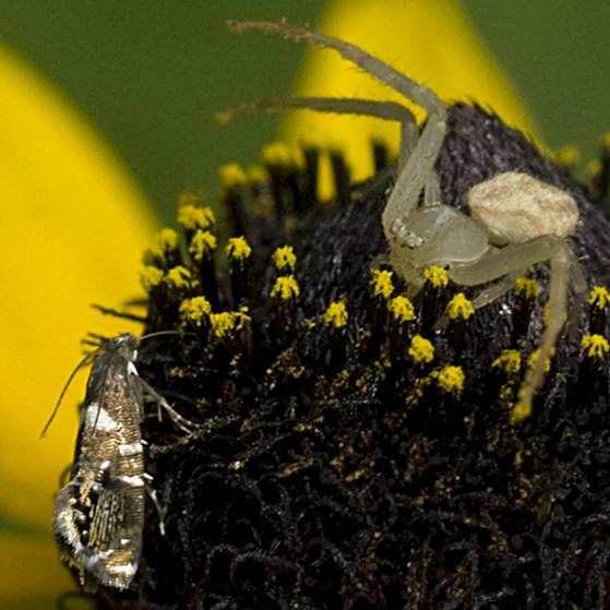 Sedge Moth and Crab Spider - Glyphipterix circumscriptella