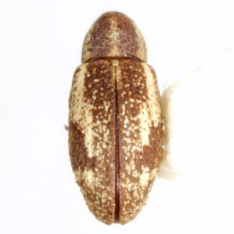 Anthonomus ligatus Dietz - Anthonomus ligatus