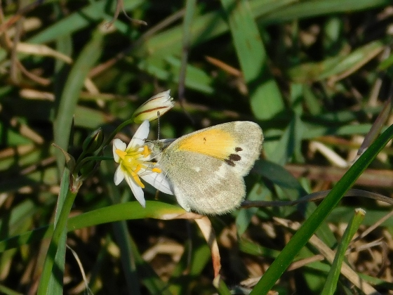 Butterfly ID - Nathalis iole