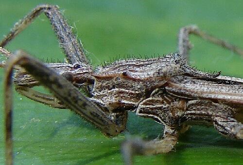Assassin - Stenopoda spinulosa