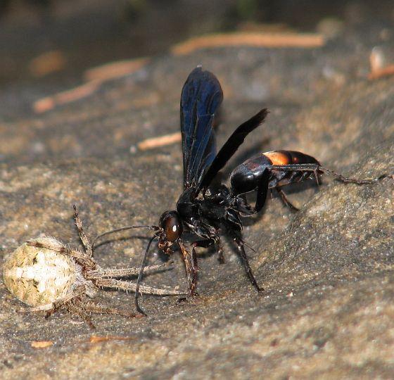 Poecilopompilus algidus - female