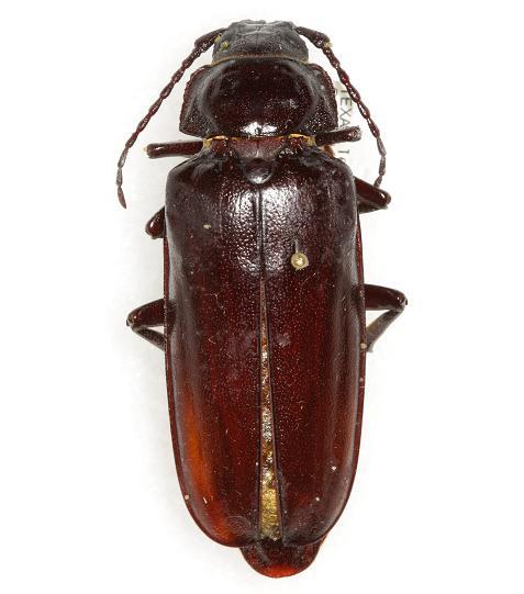 Archodontes melanopus serrulatus (LeConte) - Archodontes melanopus