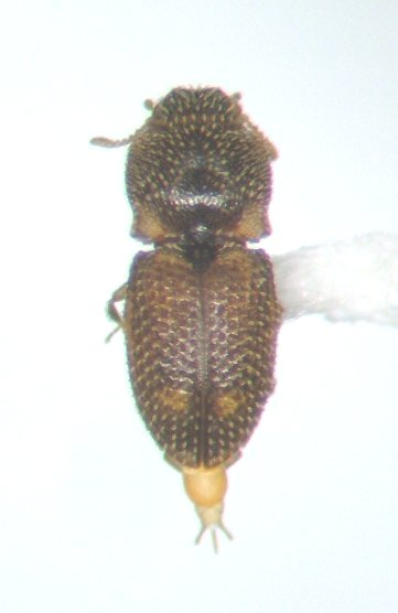 Rismethus squamiger - male
