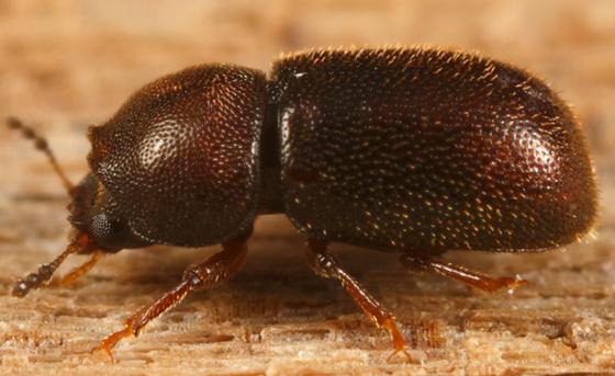 ciid - Plesiocis cribrum - male