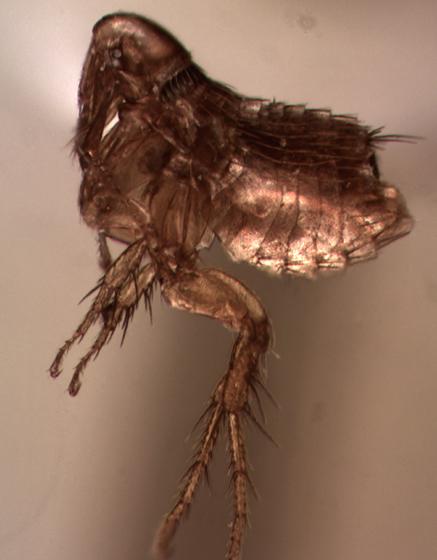 mouse flea