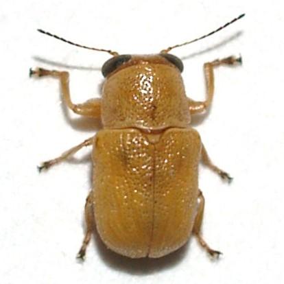 Pachybrachis  - Pachybrachis