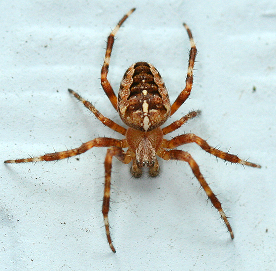 Cross Spider - Araneus diadematus - male