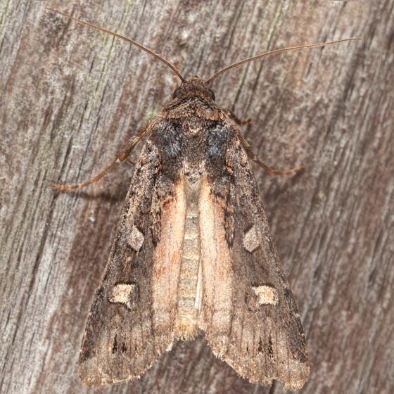 Finland Dart Moth - Actebia fennica