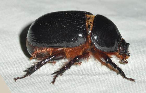 Rhino beetle - Xyloryctes jamaicensis - male