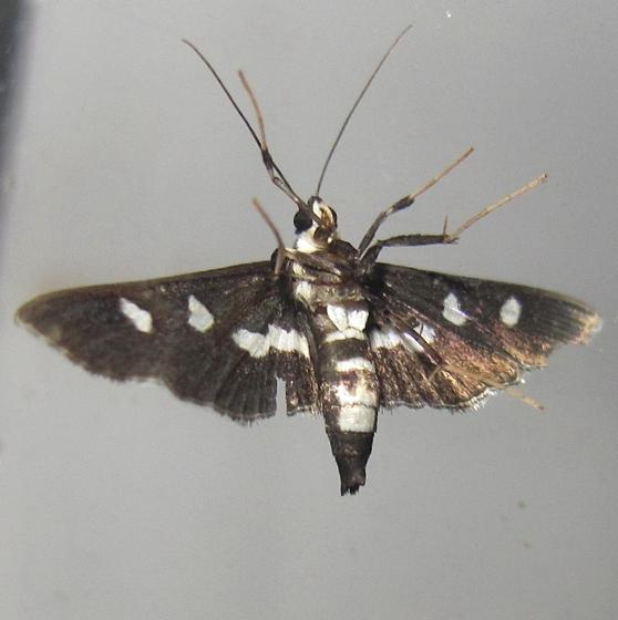 Hodges #5160 - Grape Leafroller Moth - Desmia maculalis - female
