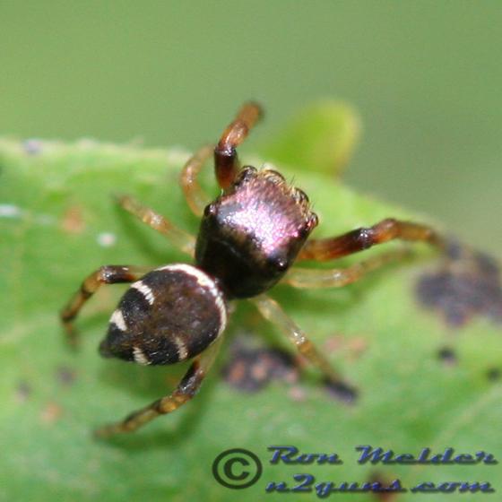 Hammerjawed Jumper - Zygoballus rufipes - male