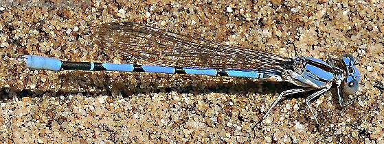 Damselfly - Argia agrioides