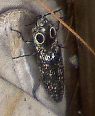 Unknown Creepy Bug - Alaus oculatus