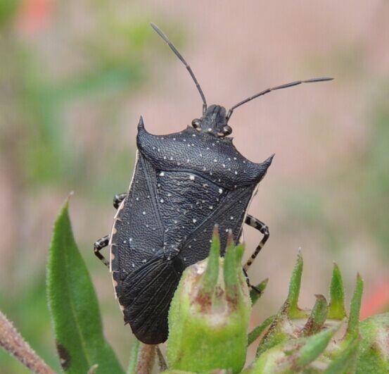 What species is this? - Padaeus trivittatus