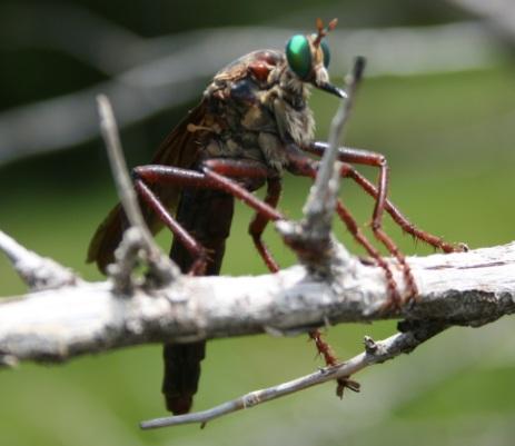 Asilidae - Microstylum morosum
