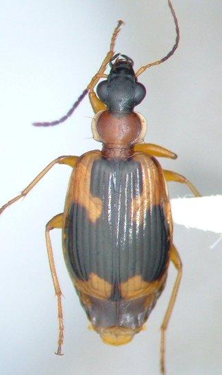 Lebia analis - female
