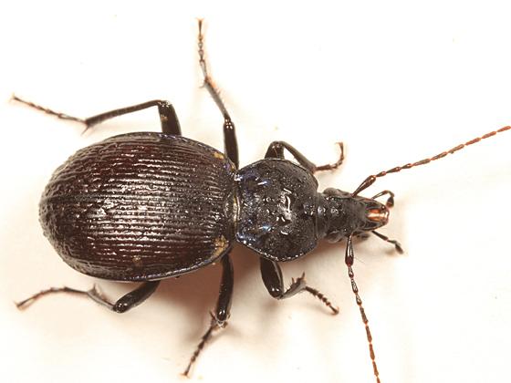 Snail-eating Beetle - Sphaeroderus stenostomus