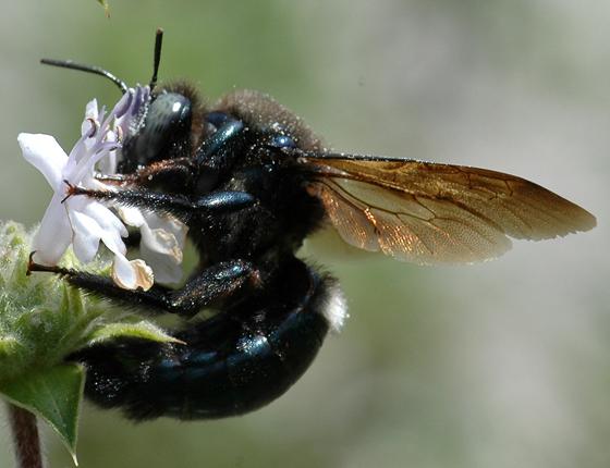 Xylocopa californica diamesa - Xylocopa californica - male