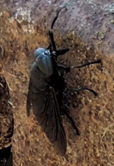 black bug - Tabanus atratus - female