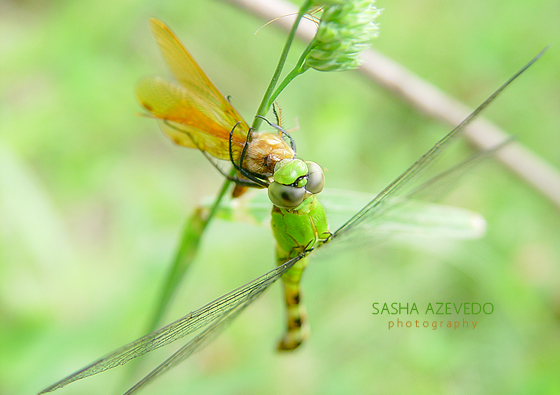 Eastern Pondhawk (eating an Eastern Amberwing) - Erythemis simplicicollis - female