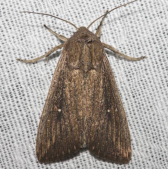 Moth unknown - Leucania subpunctata