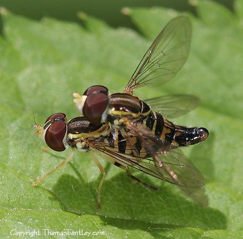 Mating Flies - Toxomerus geminatus - male - female