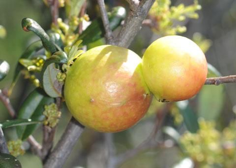 Oak Apples on Scrub Oak, probably Quercus acutidens - Andricus quercuscalifornicus