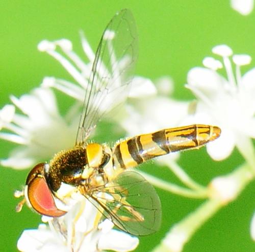 Allograpta obliqua - Common Oblique Syrphid - Allograpta obliqua - male