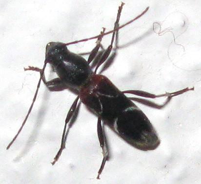 Unknown - Clytoleptus albofasciatus