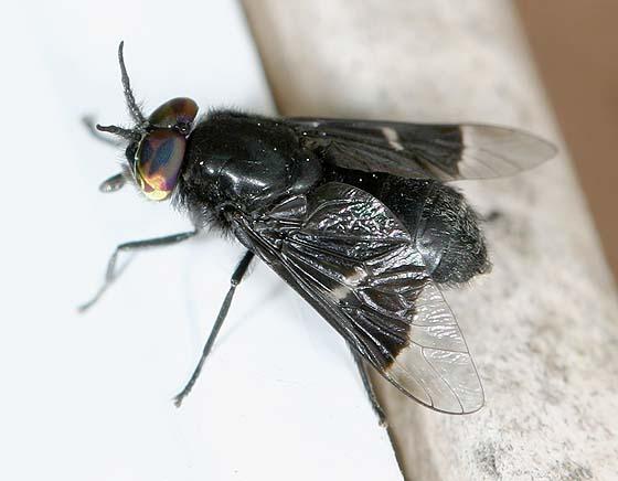 Deer Fly - Chrysops mitis - male