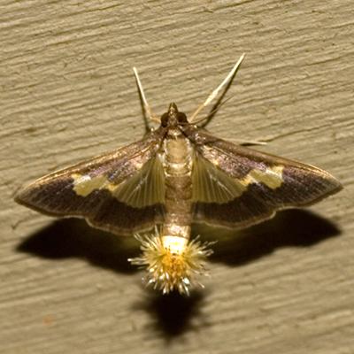 Pickleworm Moth - Hodges #5202 - Diaphania nitidalis - female