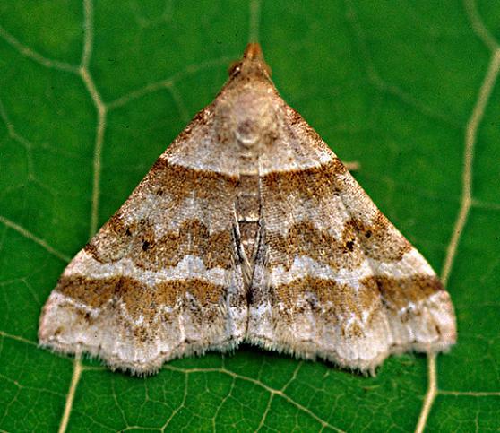 Dark-Banded Owlett - Phalaenophana pyramusalis