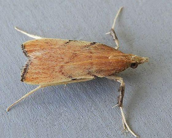 Arizona Moth - Paragalasa exospinalis