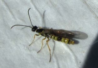 Stem Sawfly - Cephus cinctus