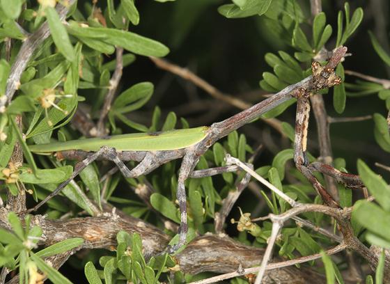 mantid - Pseudovates arizonae