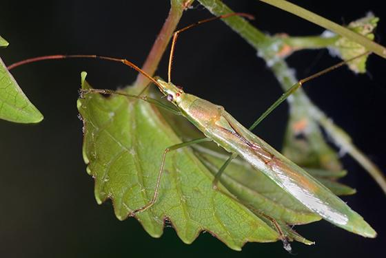 true bug - Stenocoris