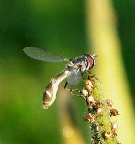 Flower Fly - Dioprosopa clavata - female