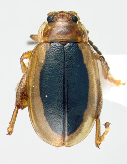 Chrysomelidae - Capraita thyamoides